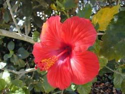 Hibiscus all summer